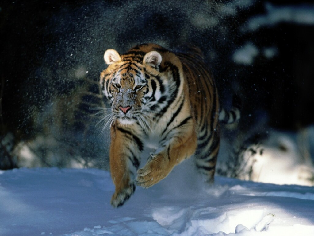Tiger05