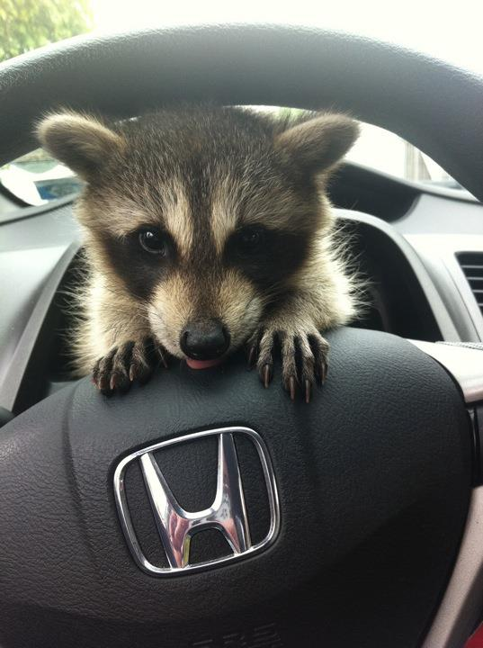 baby-raccoon-driver