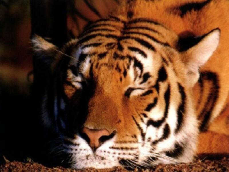 800 - tiger