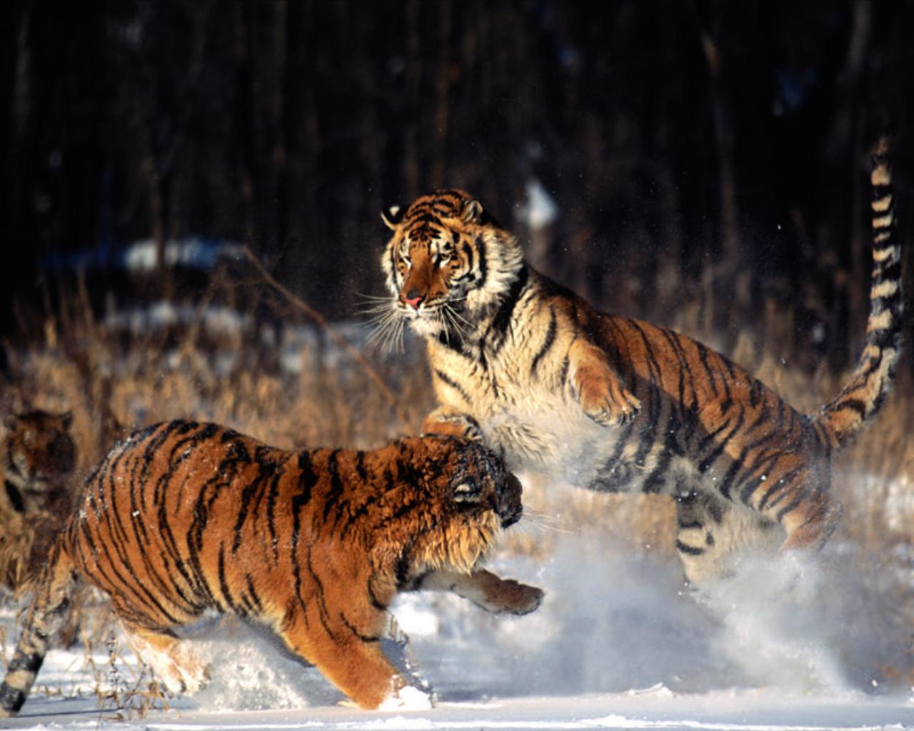 Tiger10