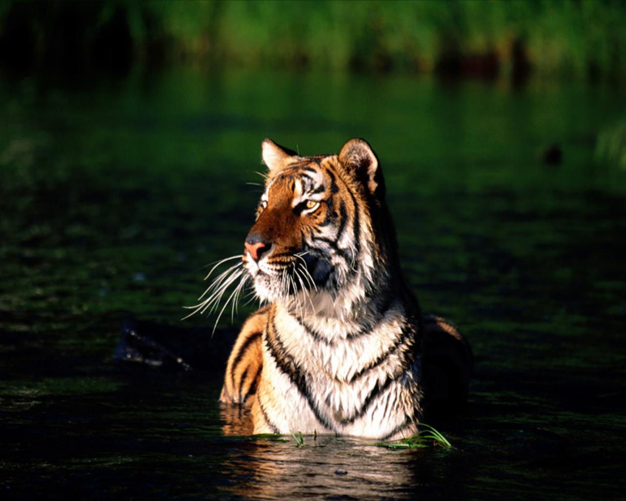 Tiger26
