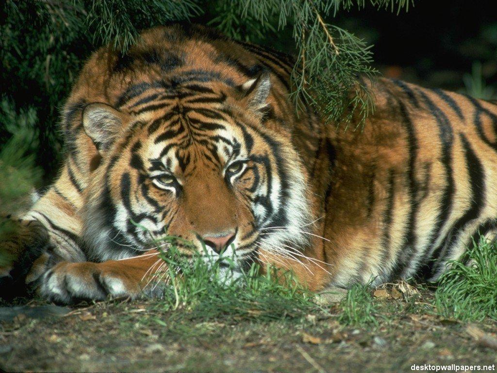 Tiger32