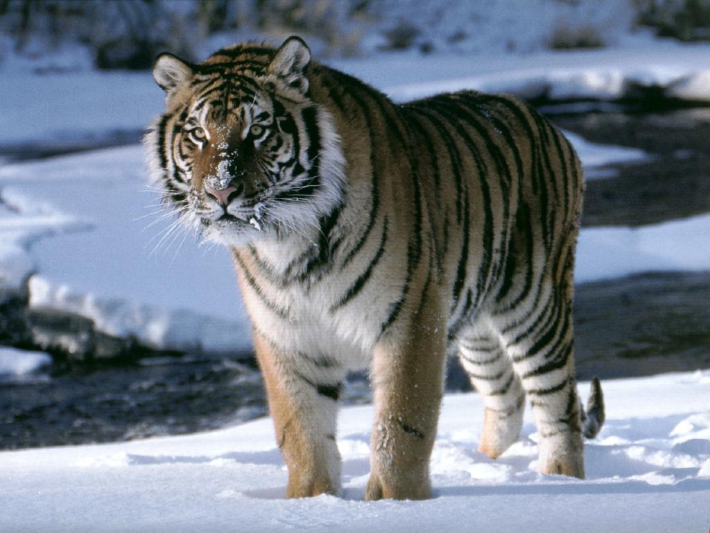 Tiger34