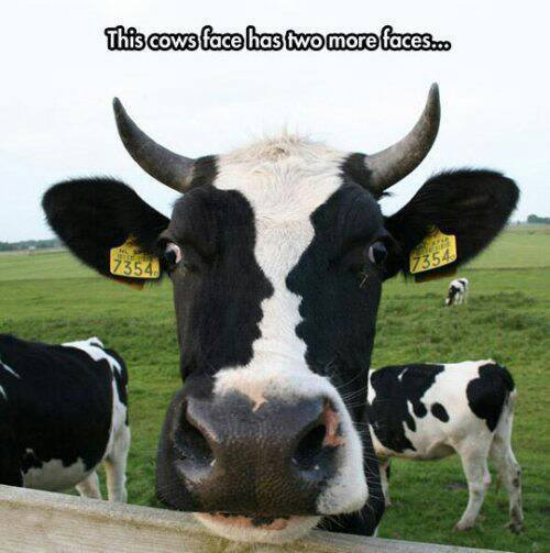 this-cow-has-three-faces